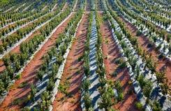 Gli alberi di cachi sistemano in una fila alla Spagna Immagine Stock Libera da Diritti