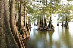 Gli alberi di Cypress calvo nei laghi orlano mentre il Sun comincia a mettere Immagine Stock