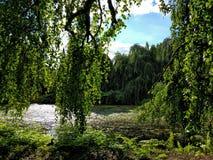 Gli alberi di Drapping sopra muschio hanno coperto il lago Immagine Stock Libera da Diritti