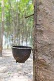 Gli alberi di gomma Fotografia Stock