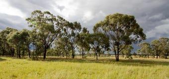 Alberi di gomma al tramonto in Australia Immagine Stock