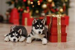 Gli alberi di Natale in bianco e nero di Husky Puppies sono dentro Immagine Stock