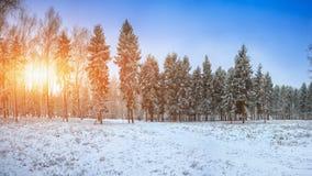 Gli alberi di Natale coperti di neve nella città parcheggiano immagine stock