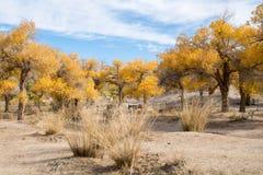 Gli alberi di pioppo con giallo lascia nella stagione di autunno Fotografia Stock