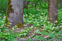 Gli alberi in foresta con il prato di Fawn Lily fiorisce nella posizione orizzontale Fotografie Stock Libere da Diritti
