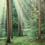 Gli alberi forestali con il sole giallo irradia splendere da parte a parte Immagini Stock Libere da Diritti