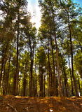 Gli alberi forestali di Ben Shemen ed il sole scoppia fra loro Immagini Stock