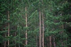 Gli alberi nella foresta Fotografia Stock Libera da Diritti