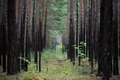 Gli alberi nella foresta Fotografie Stock Libere da Diritti