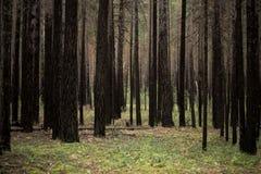 Gli alberi nella foresta Immagini Stock Libere da Diritti