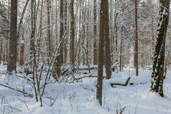 Gli alberi nevicano dopo bufera di neve spostata Fotografia Stock