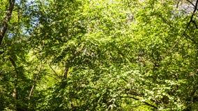 Gli alberi ondeggiano nel vento, il flusso calmo di un fiume della montagna stock footage