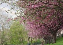 Gli alberi rosa del fiore allineano un percorso immagine stock