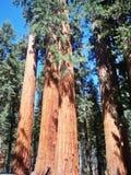 Gli alberi rossi di bellezza immagine stock