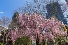 Gli alberi sbocciano in città Hall Park, Lower Manhattan, New York, U.S.A. Grattacieli sui precedenti fotografie stock libere da diritti