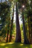 Gli alberi sempreverdi alti e vigorosi nel giapponese di Portland fanno il giardinaggio fotografie stock libere da diritti