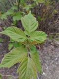 Gli alberi sono foglie verdi immagini stock libere da diritti