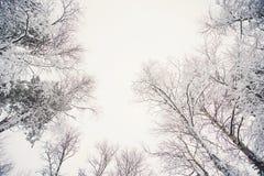 Gli alberi superiori coperti di neve contro il cielo blu, gli alberi congelati nei precedenti del cielo della foresta, rami di al Fotografie Stock