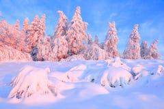 Gli alberi torti piacevoli coperti di strato spesso della neve chiariscono il tramonto colorato rosa nel bello giorno di inverno immagini stock libere da diritti