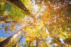 Gli alberi variopinti di autunno ingialliscono, rosso e verde in foresta Fotografia Stock Libera da Diritti