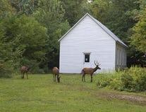 Gli alci che pascono intorno al boschetto storico del faggio istruiscono costruito nel 1903 Immagine Stock Libera da Diritti