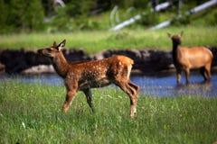 Gli alci del Fawn si avvicinano alla mamma del flusso nella priorità bassa Fotografia Stock