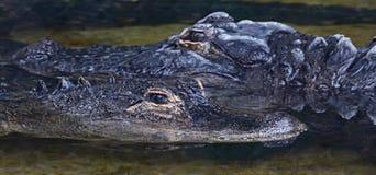 Gli alligatori americani si chiudono sul dettaglio dei denti Immagini Stock
