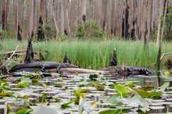 Gli alligatori della palude di Okefenokee affrontano fuori Immagini Stock