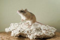 Gli allungamenti del topo alla luce Fotografia Stock Libera da Diritti