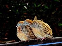 Gli amanti/zebra dell'uccello si sono tuffati, corpi striati di Geopelia Immagine Stock