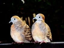 Gli amanti/zebra dell'uccello si sono tuffati, corpi striati di Geopelia Immagine Stock Libera da Diritti