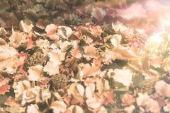 Gli ambiti di provenienza d'annata asciugano le foglie del fiore sulla terra con il filtro dal Sun-chiarore, il tono d'annata Fotografia Stock