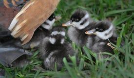 Gli anatroccoli sotto la madre ducks l'ala Fotografie Stock Libere da Diritti