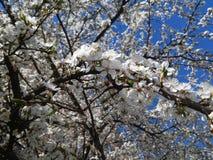 Gli anelli gradiscono la neve Molti piccoli anelli del susino nei primi giorni di possono Fotografia Stock