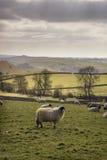 Gli animali delle pecore in azienda agricola abbelliscono il giorno soleggiato in distretto di punta Regno Unito Immagini Stock Libere da Diritti