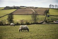 Gli animali delle pecore in azienda agricola abbelliscono il giorno soleggiato in distretto di punta Regno Unito Fotografia Stock Libera da Diritti