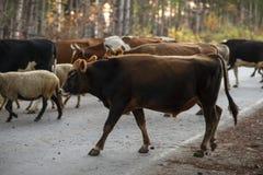 Gli animali domestici girano indietro dal pascolo Fotografie Stock