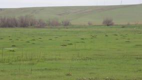 Gli animali domestici pascono in primavera il campo video d archivio