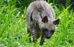 Gli animali selvatici gradiscono le iene Fotografie Stock Libere da Diritti