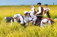 Gli anziani si sono vestiti in vecchi vestiti di ethno a riso manuale che raccoglie la manifestazione il giorno soleggiato Immagini Stock Libere da Diritti