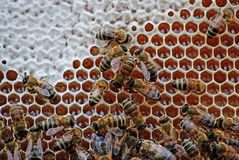 Gli api chiudono il miele. Fotografie Stock