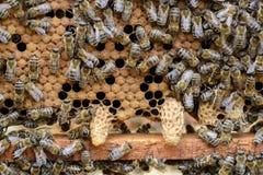 Gli api stanno prestando attenzione alla larva di sviluppo dell'ape di regina fotografia stock