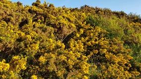 Gli arbusti gialli dentro respingono il punto Regno Unito fotografia stock libera da diritti