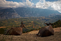 Gli asini ammirano il paesaggio Fotografie Stock