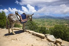 Gli asini nelle montagne vicino allo Psychro franano Creta, Grecia Immagine Stock