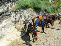 Gli asini sulle scale di Santorini Immagine Stock Libera da Diritti