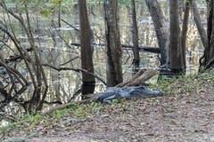 Gli aspettare affamati dell'alligatore i turisti avventati in Brazos piegano il parco di stato vicino ad Houston, il Texas Immagini Stock