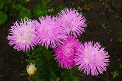 Gli aster di rosa dell'inflorescenza bagnati di mattina inumidiscono del parco della città Inflorescenza degli aster rosa su un f fotografie stock