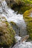 Gli aumenti dei salmoni del humpback verso l'alto sulle cadute Immagini Stock