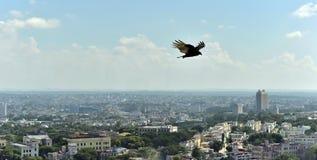 Gli avvoltoi americani (Cathartidae Lafresnaye) sale sopra Havana Cuba Fotografia Stock Libera da Diritti